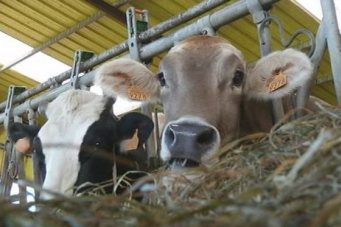 21151212 Vaches